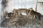 Lost Tiger Tasmania