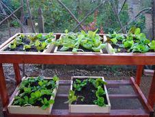 Your Salad Greens Burn Garden?