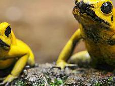 Search World's Most Poisonous Frog