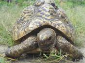 Featured Animal: Leopard Tortoise