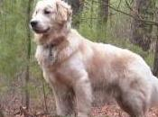 Featured Animal: Golden Retriever