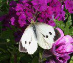 Attracting Butterflies Your Garden