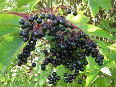 Perfume Illuminated: Elderberry