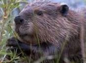 Featured Animal: Beaver