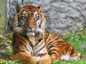 Featured Animal: Sumatran Tiger