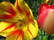 Tulip Surprise Backyard
