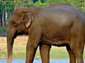 Featured Animal: Indian Elephant