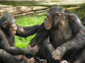 Chimps Handsy