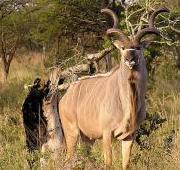 Featured Animal: Kudu