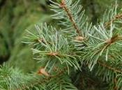 Plant Week: Picea Omorika