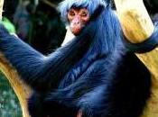 Featured Animal: Spider Monkey