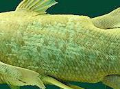 Field Guide Coelacanth Replicas