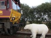 Polar Bear Blocks Coal Train, Greenpeace Unloads
