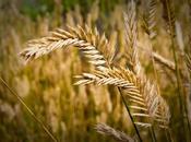 Wheat Tares