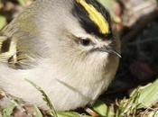 Winter Finch Forecast: Help Monitor Wild Bird Health