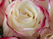 Studio Sweetness Roses