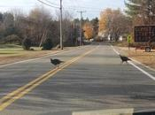 Lesson 1152 Wild Turkey Cross Road?