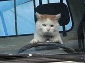 Images Cats Driving