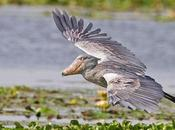 Operation Shoebill: Uganda's Birding Hour Race