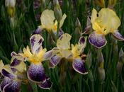 Iris Germainca