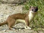 Featured Animal: Weasel