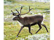 About Reindeer