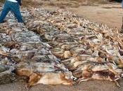 Wildlife Lovers Start Year With Three-Day Mass Slaughter Wolves Coyotes