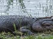 Mother American Alligator with Baby Gator Head