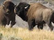 """National Park Service: Relocate Yellowstone's """"Excess"""" Bison Instead Killing Them"""