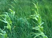 Using Nature's Mycorrhizal Tool-Kit Compete with Weeds Killing Them Glyphosate