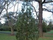 Juniperus Excelsa 'Stricta'
