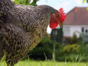 Poorly Hen, Yolk Peritonitis Other Problems