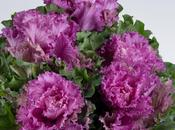 Studio: Purple Kale
