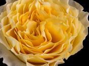 Studio: Star Campanella Roses