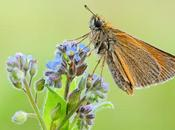 Thymelicus Sylvestris, Small Skipper