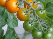 Tomatoes-choosing Your Favourite Variety