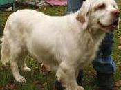 Featured Animal: Clumber Spaniel