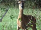 Deer, Female Dog-boar Fawns Dream