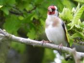 About Goldfinches