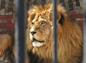 Circus Lion Freed From Cage Feels Earth Beneath Paws First Time
