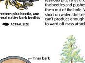 Drought, Beetles Preying Weakened California Forests Sacramento
