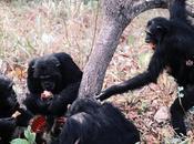 Chimpanzees Hunting Their Prey Extinction