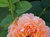 Roses Manito Gardens Park Spokane, Washington