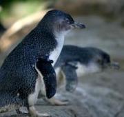 Featured Animal: Penguin