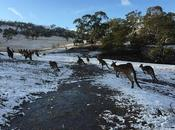 Heavy Snow Tasmania Leaves Most Locals Bonorong Into Frenzy