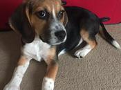 Meet Poppy Beagle Puppy