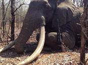 Canned Hunting Another Tusker Hunted Zimbabwe German