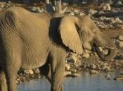 Mali's Desert Elephants Face Extinction Years
