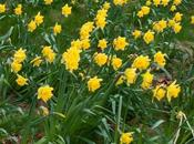 Daffodils Restored