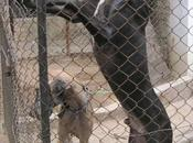 Costly Korean Mastiff Comes India Crore